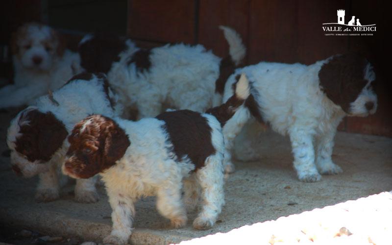 allevamenti cane lagotto