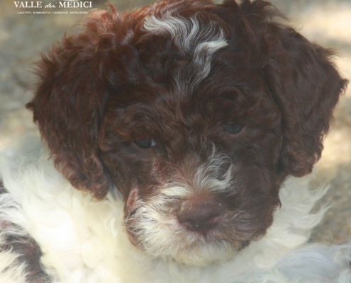 lagotto cucciolo video