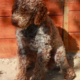 lagotto roano marrone