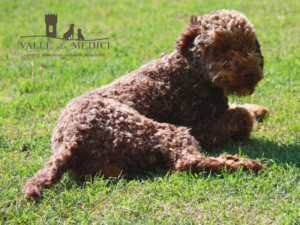 lagotto romagnolo marrone