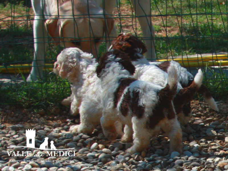 lagotto romagnolo video