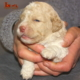gold2 Teaching Lagotto's puppy where to take care of his needs