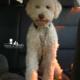 viaggiare cane lagotto
