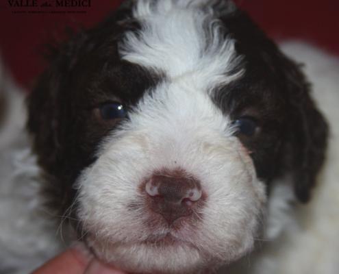 adottare cucciolo lagotto romagnolo
