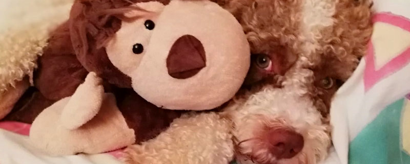 inserimento cucciolo lagotto