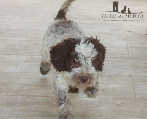 breed lagotto romagnolo