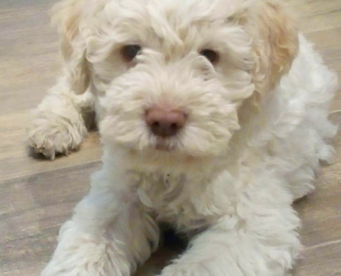 breeding lagotto romagnolo kennel