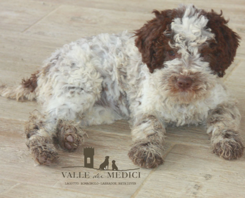 lagotto romagnolo great britain