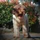 lagotto romagnolo pups