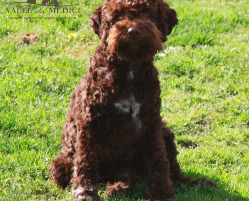atena cane lagotto marrone