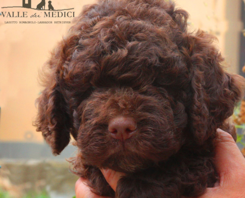 blue lagotto