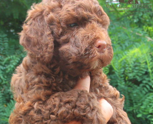 china lagotto emiliano