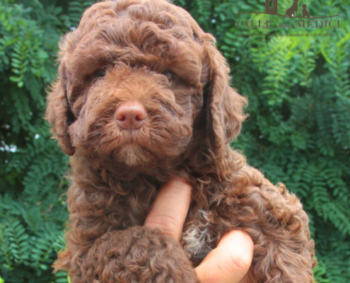 china lagotto toscana