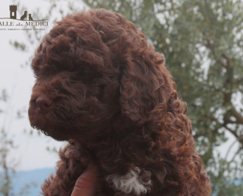 let lagotto marrone