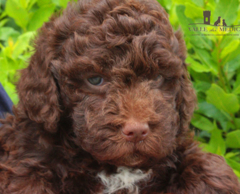 let lagotto romagnolo