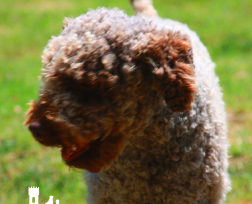 ambra femmina lagotto