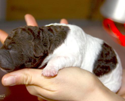 cucciolo lagotto bianco marrone