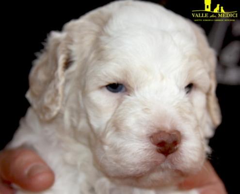cucciolo lagotto bianco
