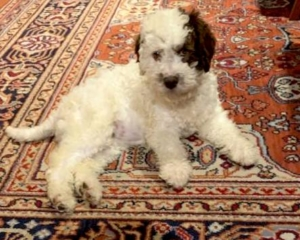 Lagotto Romagnolo Breeding Switzerland Swiss Lagotto Puppies