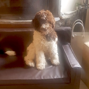 lagotto liguria