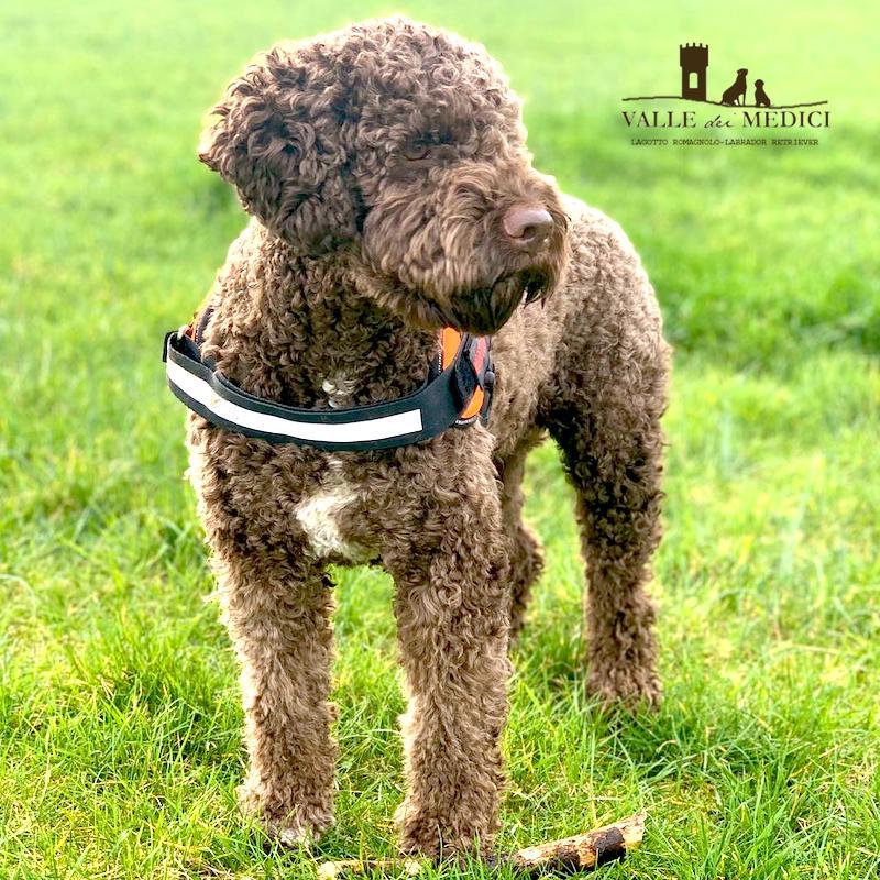 attrezzi toelettare cane lagotto
