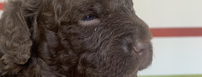 akela lagotto romagnolo family dog
