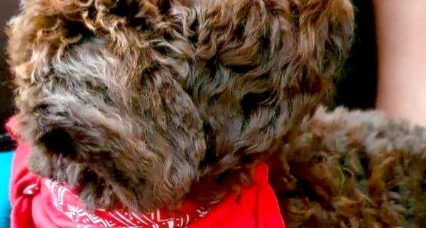lagotto romagnolo breeder italian water dog