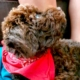 lagotto romagnolo breeder italian water dog