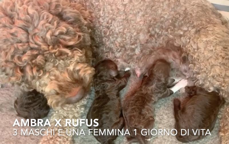 litter italian dog water - lagotto romagnolo breeder