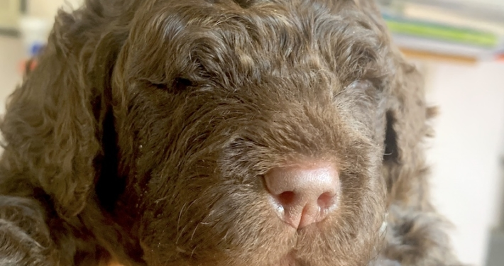 mowgli lagotto health