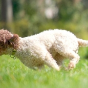 first journey with lagotto pup